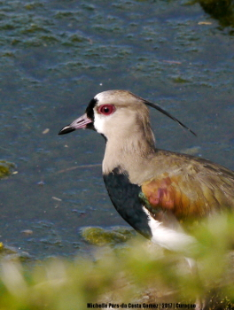 20172903-southern lapwing_1600FB 350