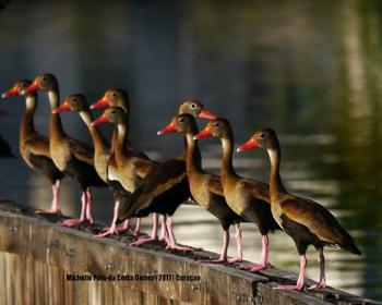 2017 Black-bellied whistling ducks_350