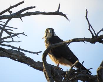 Aplomada falcon 1