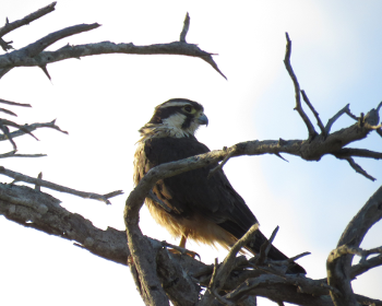 Aplomada falcon 2
