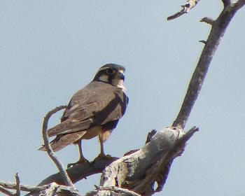Aplomada falcon 3