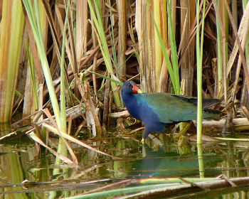 Purple Gallinule 350x280 1