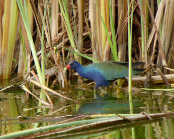 Purple Gallinule 350x280 2