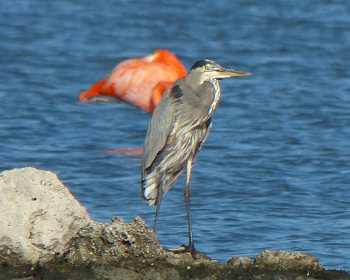 Great Blue Heron 3feb_MdCG 350x280