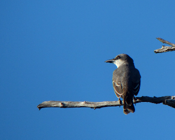 Grey Kingbird 3feb_MdCG 350x280