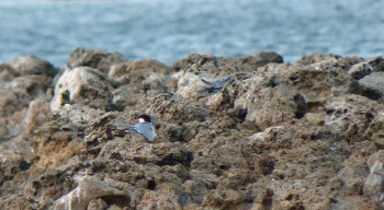 2018 common tern breeding 350