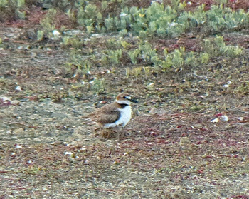 2018 wilsons plover with 6 legs_350