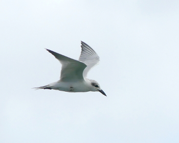 Gull-billed tern 350x
