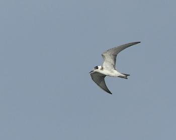 Black tern 1 _350_MdCG