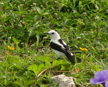 Pied Water Tyrant 3 _325_MdCG