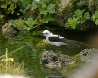 Pied Water Tyrant 4 _325_MdCG