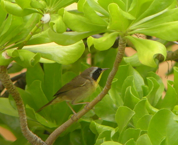 2019 Common Yellowthroat 2 350