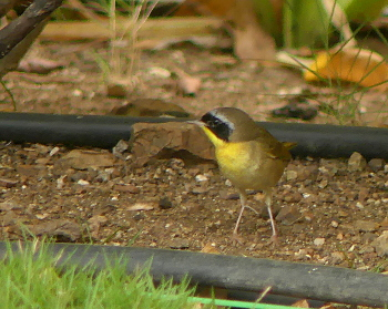 2019 Common Yellowthroat 350