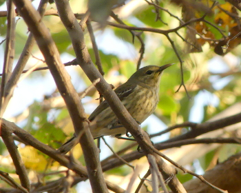 2019 Cape May warbler 2_350