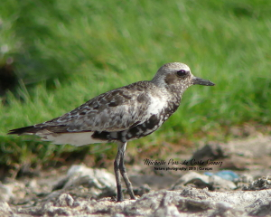 2019 Black-bellied Plover_300x