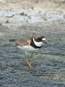 2019 Semi-palmated plover breeding plumage_300x