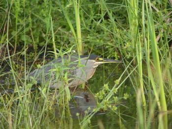 2019 Striated heron 2_350x