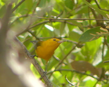 Prothonotary warbler_350x