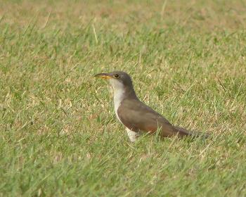 Yellowbilled cuckoo_350x