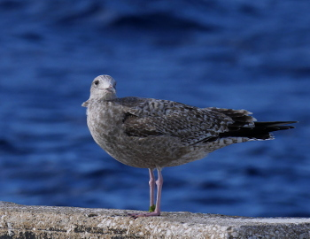 Gull-1_350x