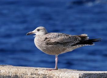 Gull-2_350x