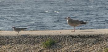 Herring Gull and laughing gull comparison_350x