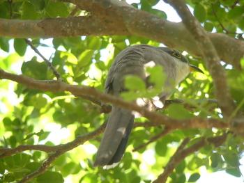 Mangrove cuckoo 2 350x