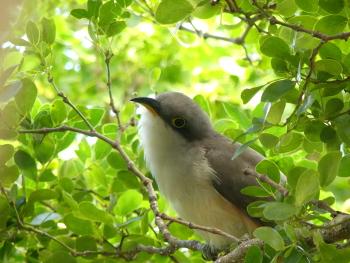 Mangrove cuckoo 3 350x