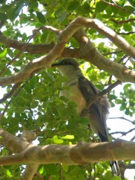 Mangrove cuckoo 350x
